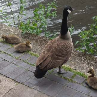 A goose with babies beside the canal